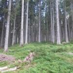 Gozd na Pokljuki